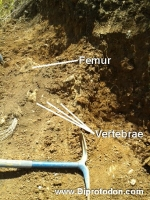 <h5>The beginning of an excavation</h5><p>Here we can see a few Diprotodon fossils as we begin our excavation, including parts of the vertebrae (backbone) and femur (thigh bone).</p>
