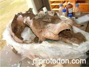 The Diprotodon skull nearly finished (photo: I. Sobbe)