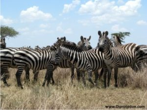 Zebra are modern migrating mammals of East Africa's Serengeti