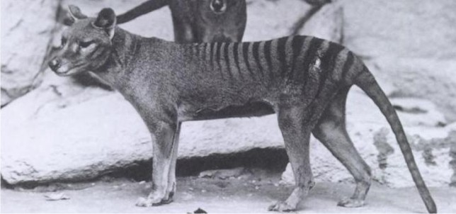 Is the Tasmanian Tiger really extinct?