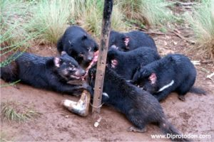 Tasmanian Devils feeding at the Devil Ark
