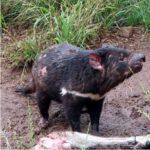 Saving the Tasmanian Devil